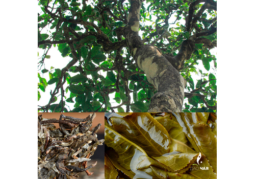 Бин Дао Мушу Ча Гушу «Шен Пуэр из Биндао со старых материнских деревьев» (2018 год)