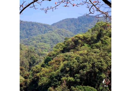 Дянь Хун с диких старых деревьев