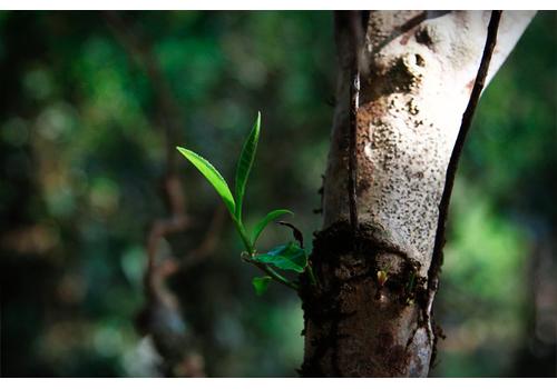 Лао Бан Чжан «ЛаоБанЧжан с молодых деревьев»
